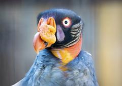 Vulture Portrait (Photato Jonez) Tags: king vulture potter park zoo alex day alexander lansing michigan