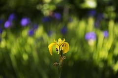 Summer Soloist (Ian@NZFlickr) Tags: flower light summer botanical gardens dunedin nz