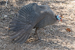 13-South_Africa-2016 (Beverly Houwing) Tags: africa guineafowl krugerpark phalaborwha southafrica strecthing wing feathers spots bird