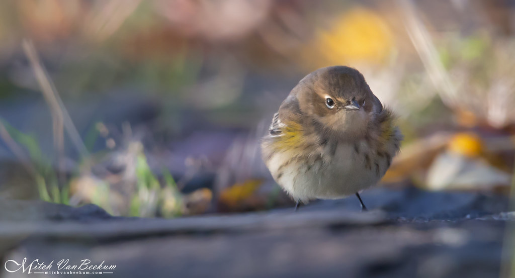 Soft Focus Butterball (Yellow-Rumped Warbler)