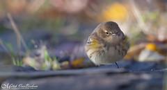 Soft Focus Butterball (Yellow-Rumped Warbler) (Mitch Vanbeekum Photography) Tags: yellowrumpedwarbler yellow rumped warbler statelinelookout alpine nj newjersey wildlife wild mitchvanbeekum mitchvanbeekumcom canon14teleconvertermkiii canonef500mmf4lisiiusm canoneos1dx perched
