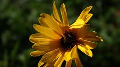 Ne rentrez pas, Madame ... (vebests) Tags: abeille fleur macro bokeh natureinfocusgroup