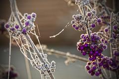 Fruits et bijoux (domimartin) Tags: givre gel fruits violet fil araignée matin froid hiver