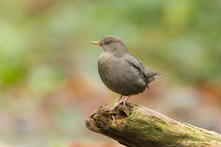 More of the American Dipper... and more to come