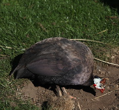 IMG_3056 (juleshelene) Tags: guineafowl feathers