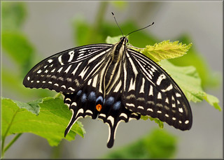 Chinese yellow swallowtail, too Asian swallowtail