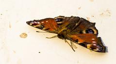 Megpihenve (zsolesz_93) Tags: lepke pillangó natural colorful iso100 nikon nikond3200 nikkor1855mm 55mm