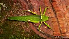 Katydid (Ecuador Megadiverso) Tags: andreaskay ecuador amazon book grasshopper katydid orthoptera puyo tettigoniidae ursula