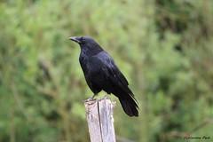 Corneille (Passion Animaux & Photos) Tags: corneille carrion crow parc animalier saintecroix france