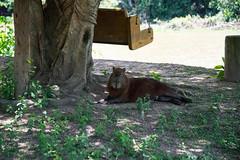 DSC_1655.jpg (riandar) Tags: brazil pantanal southwild capybara wildlife mammals safari nature
