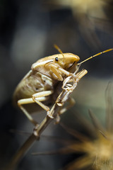 Gold (Heralth) Tags: insecto insect bug amaillo yellow negro black contraste contrast wildlife vidasalvaje macro macrofotografia gold dorado naturaleza nature light luz closeup aumento macrophotography invertebrado invertebrate invertido 50mm