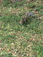 IMG_5518 (bestmilan) Tags: fortlauderdale florida bestmilan photo november 2016 victoriapark squirel
