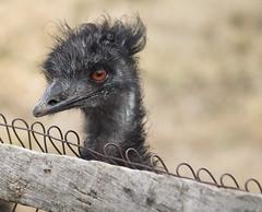 Bluebird Gap Farm Hampton Virginia emu bird (watts_photos) Tags: bluebird gap farm hampton virginia emu bird 55250 animal big bigbird