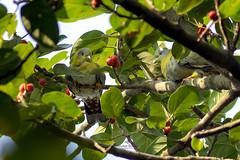Yellow Footed Green Pigeon (Showkat.Shuvro- ) Tags: showkatshuvro wildlifephotography nature bangladesh wildbirds explorebangladesh ngc bestbirdshots yourbestbird discoverwildlife wildlifeplanet yellowfootedgreenpigeon nbg dhaka