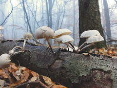 Mushrooms and mist (Teun Donders) Tags: mushrooms shrooms mist paddestoel paddenstoel padenstoelen paddestoelen paddenstoelen bomen trees leaves bladeren blad leave hout wood natuur nature herfst fall autumn weather weer teundonders 2016 berg en dal nijmegen