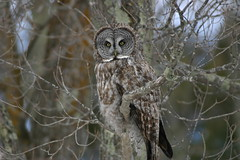 IMG_0829.JPG (jean.dezeeuw) Tags: great gray owlowl invasion 2005aitkin county mn