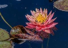 Summer Memories (Wes Iversen) Tags: chicago chicagobotanicgarden hss illinois nikkor80400mm sliderssunday blooms blossoms flowers lilypads water waterlilies