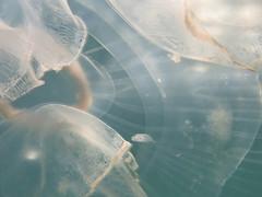 IMG_5639 (adrienweckel) Tags: adrienweckel aurélie aureliaaurita cnidaires poissons
