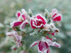frosted rose 336/366 (dawn.v) Tags: december frost frosty 2016 cold bournemouth dorset uk england lumixlx100 earlymorning wintery 366daysin2016 2016yip rose frostedrose