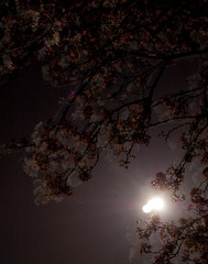Night Blossoms (albinobobman) Tags: life moon color tree night branches blossoms lensflare