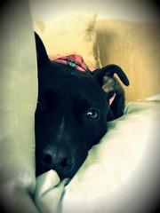 faccia (Surreal-Journey) Tags: dogs pitbull mansbestfriend faccia apbt americanpitbullterrier pibble iphone4s imfordogs