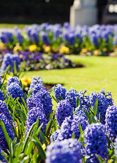 Hyacinths Beds at RHS Kew Garden (bbclare) Tags: family blue kewgardens abstract flower color colour macro green up grass yellow kew gardens closeup garden spring nikon order close with kingdom micro nikkor plantae vr afs rhs genus kewgarden hyacinthus 105mm d90 angiosperms monocots clade subfamily rhsgarden 105mmf28gvrmicro asparagales asparagaceae nikond90 nikkor105mmf28gvrmicro rhskewgardens scilloideae trixilious nikkorafsvrmicro105mm nikond90withnikkorafsvrmicro105mm rhskewgarden