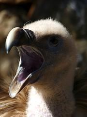 Griffon Vulture (Josh13770) Tags: wild bird nature birds geotagged european awesome reserve vulture griffon birdwatcher gyps fulvus gypsfulvus griffonvulture supershot specanimal avianexcellence panasonicdmcfz150