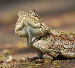 Lizard (anacm.silva) Tags: africa wild nature southafrica nikon wildlife natureza lizard rptil lagarto krugernationalpark krugerpark kruger frica vidaselvagem lowersabie lowersabiecamp fricadosul anasilva nikond40x