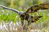 Golden eagle with breakfast (mnielsen9000) Tags: goldeneagle birdofprey aquilachrysaetos mygearandme mygearandmepremium mygearandmebronze mygearandmesilver mygearandmegold mygearandmeplatinum