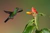 Green-crowned Brilliant (Heliodoxa jacula) (mikebaird) Tags: bird costarica hummingbird greencrownedbrilliant heliodoxajacula mikebaird bosquedepaz 08may2012