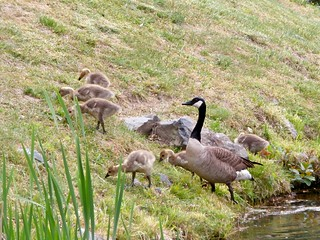 Goose Family Outing