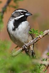 IMG_9789 Black-Throated Sparrow