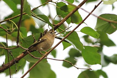 Goldcrest / Roitelet hupp (La Guiche) Tags: birds canon northernireland northernirelandbirds