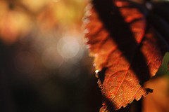 Leaves 010 (Ethan Sztuhar) Tags: red sun blur leaves closeup focus warm close bokeh sony a33 alpha