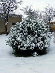 IMGP0260 (Peti0061) Tags: winter snow bush hungary snowy snowybush bokor magyarország havas hó tél winter2010 vasmegye peti0061 nagygeresd