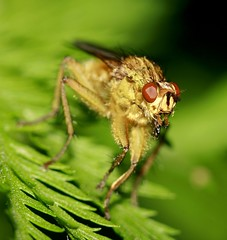Macro_Photography_fly 4 (kaliphoto) Tags: bug insect canon1855 canon100mm canonrebelxti kenkorings