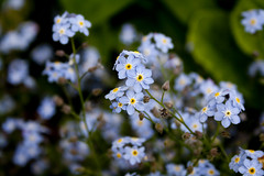 Forget me not (VickyA1993) Tags: blue flower garden photography leaf pretty petal forgetmenot challenge meaningful