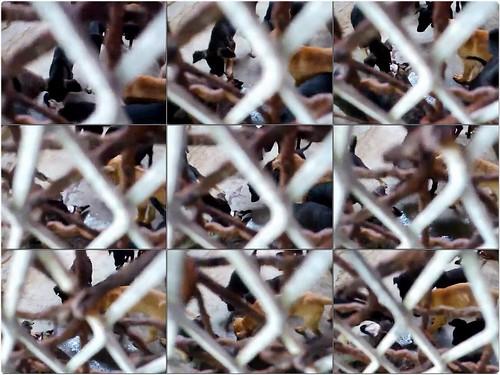「慟」嘉義民雄收容所,官員監督不力,資源困乏,還拼命濫補,造成狗吃狗悲劇,令人憤怒!縣長出來面對!20130619