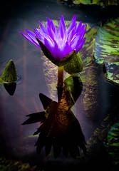 _D7K4380 (5816OL) Tags: flowers dad waterlilies zoos zoo2013