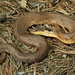Eastern Hog-nosed Snake