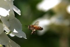 ape_in_volo_8616 (gio757) Tags: macro canon insects bee landing volo anemone ape fiore miele lavoro polline fbdg