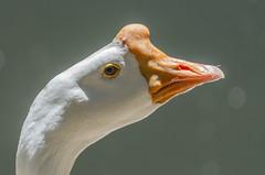 Goose (mcvmjr1971) Tags: ex birds brasil lens nikon sigma paulo sao clube f4 100300 d7000