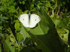 July2013 873 Pieris rapae - Small white butterfly (monica_meeneghan) Tags: butterflies insects summer13 bigbutterflycount