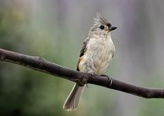Tufted Titmouse_DSC0549 (DansPhotoArt) Tags: life bird nature fauna garden backyard nikon earth wildlife aves titmouse freshness tuftedtitmouse passaros d7100