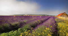 """ LAVENDER FIELDS "" (Wiffsmiff23) Tags: nature lines wall barn out pretty perfume lavender rows stunning fields keep stunner farmer colourful miserable annoyed odour lavenderfarm beuaty privateland privatefield nosignssayingkeepout"