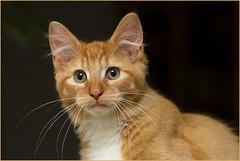 Sunday portrait ... (Jan Gee) Tags: red portrait orange cat rouge ginger kitten kat feline chat kitty gato gata billy katze portret rood gatto kater kot tomcat chaton gatini katertje