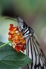 A quick drink, before, well another quick drink... (agaudin) Tags: life macro nature animal butterfly insect insects papillon farfalla schmetterling 蝴蝶 xsi animallife 蝶 昆虫 butterflygarden бабочка פרפר پروانه 나비 πεταλούδα bướm canonxsi