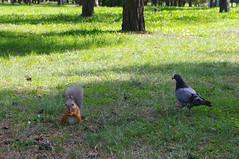 Orav ja tuvi (Jaan Keinaste) Tags: squirrel tallinn estonia pentax eesti k7 orav mustamäe pentaxk7