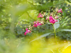 just a cursory glance... (All Shine) Tags: pink flowers light plants nature colors beautiful photography bokeh outdoor ngc dream expressions wildflowers impressions