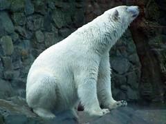 2013  The adorable Sesi ('Ebe) Tags: bear polarbear rhenen sesi ouwehandszoo